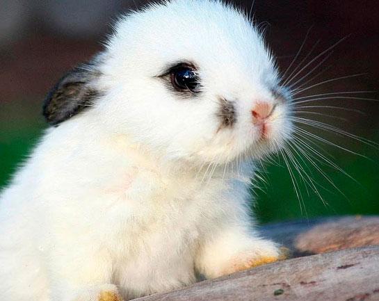Tavşan Hastalıkları